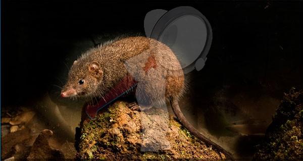 El Marsupial que muere por exceso de sexo