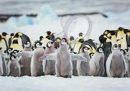 La «catástrofe» del pingüino emperador