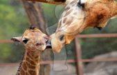 Nombran Jira-fifí-ta a jirafa bebé de Chapultepec