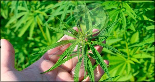 Extracto de Cannabis evitara perdida de peso por Quimioterapia