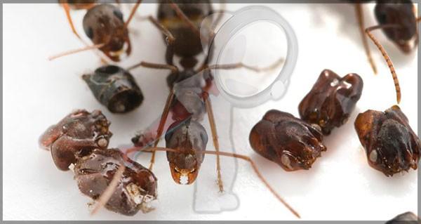¿Por qué estas hormigas recolectan Cráneos?
