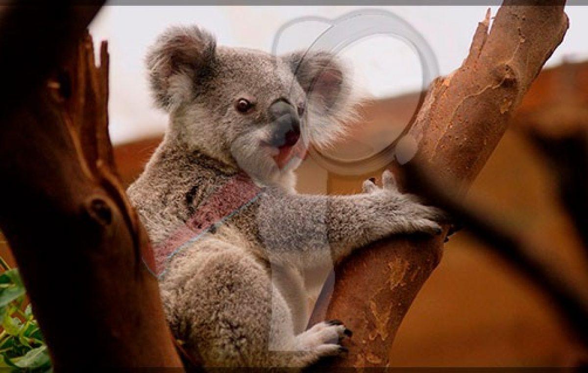 Declaran  'Funcionalmente Extinto' al Koala en Australia