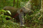 Rinocerontes en Malasia enfrentan grave peligro por caza furtiva