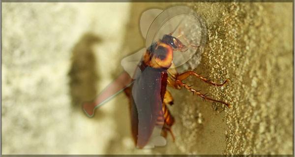 Las cucarachas se vuelven más resistentes a insecticidas