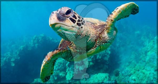 Impresionante algunas tortugas pueden sobrevivir meses sin oxigeno