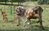 Ganaderos reportan la muerte de mil cabezas de bovinos por sequía