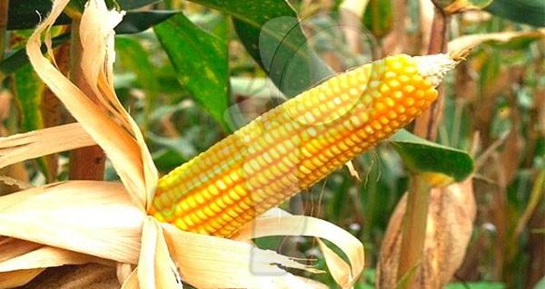 Importó México casi 16 millones de toneladas de maíz amarillo