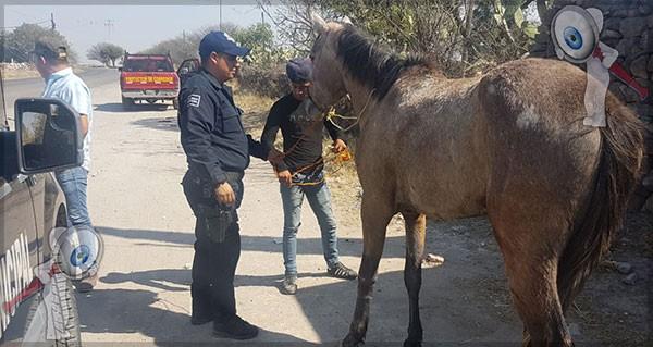 Recuperan equino presuntamente robado
