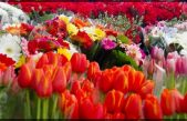 Pérdidas cuantiosas en la floricultura mexicana por pandemia