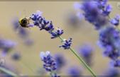 ¿Sabes cómo se produce el vuelo del abejorro?