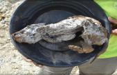 Encuentran un cachorro de lobo de 57.000 años